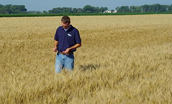 man walking in wheat field analyzing grain